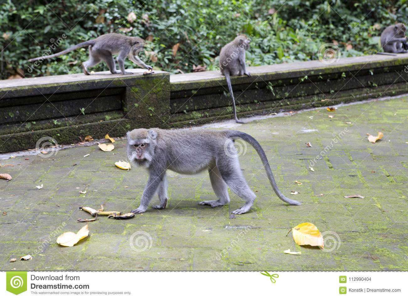 Family of monkeys Long-tailed macaque-Macaca fascicularis in Sangeh Monkey Forest in Bali, Indonesia