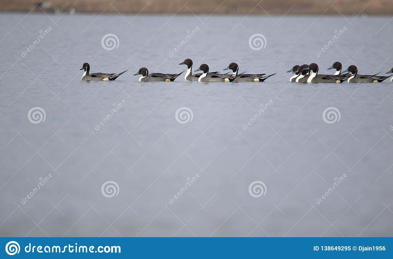 Family of northen pintail duck