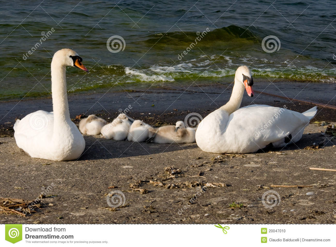 Family of swans in front of the lake