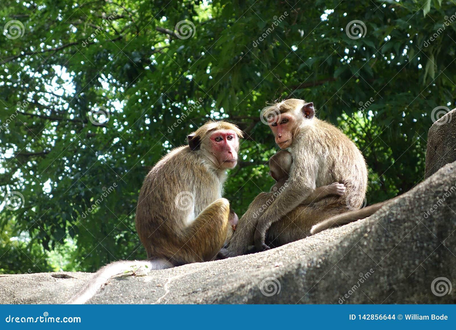 Family of Toque Macaque Monkeys Closeup