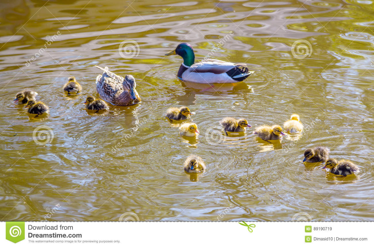 Family of wild ducks swims in a pond