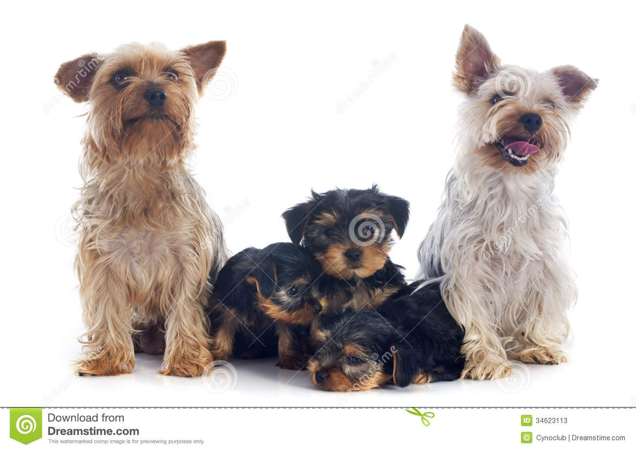 Family Yorkshire Terrier Stock Photos - Image: 34623113
