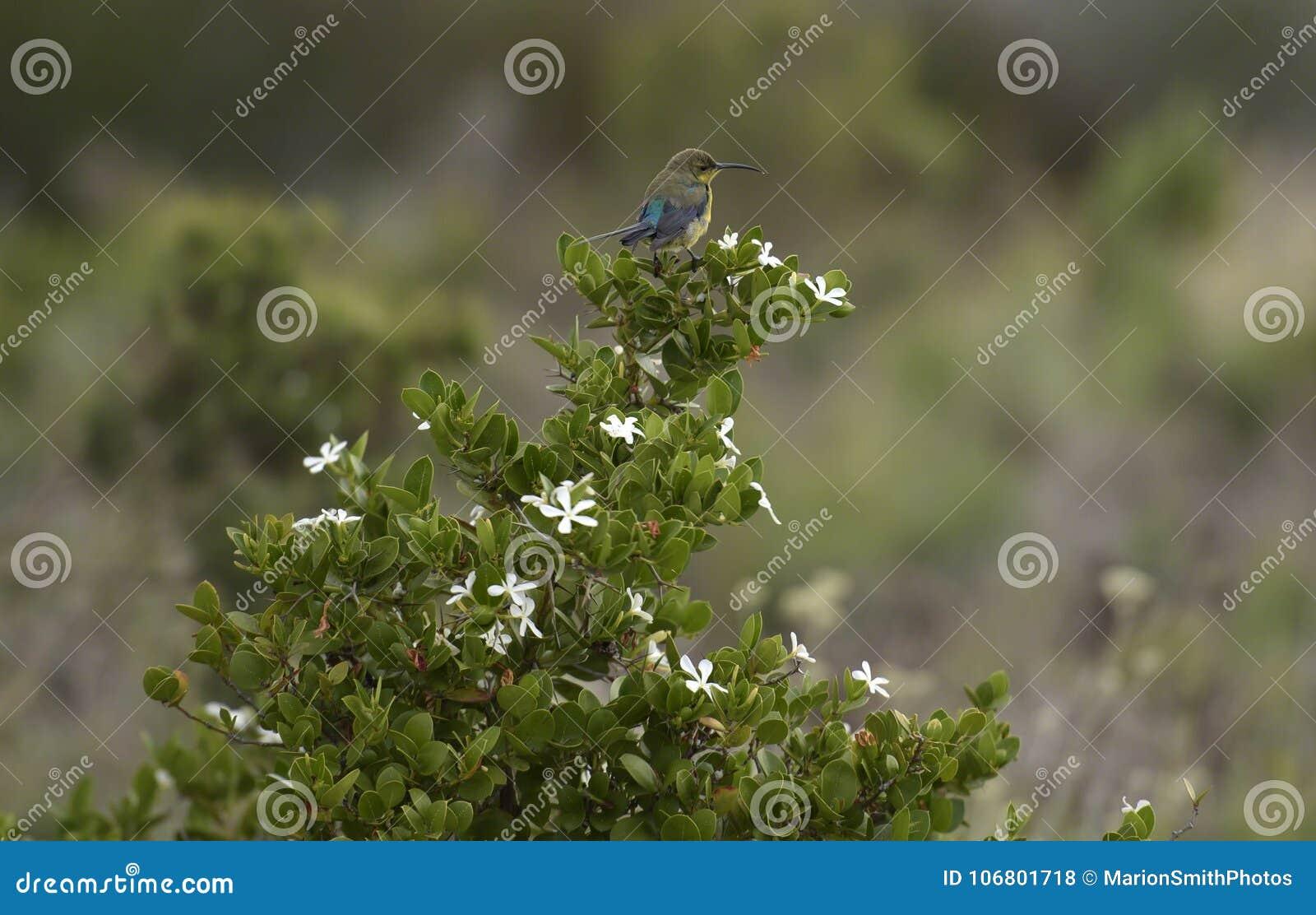 Famosa de Sunbird Nectarinia de malachite sur l usine avec les fleurs blanches