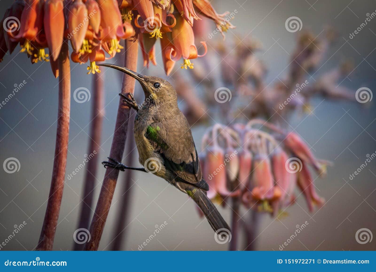 Famosa di SunbirdNectarinia della malachite