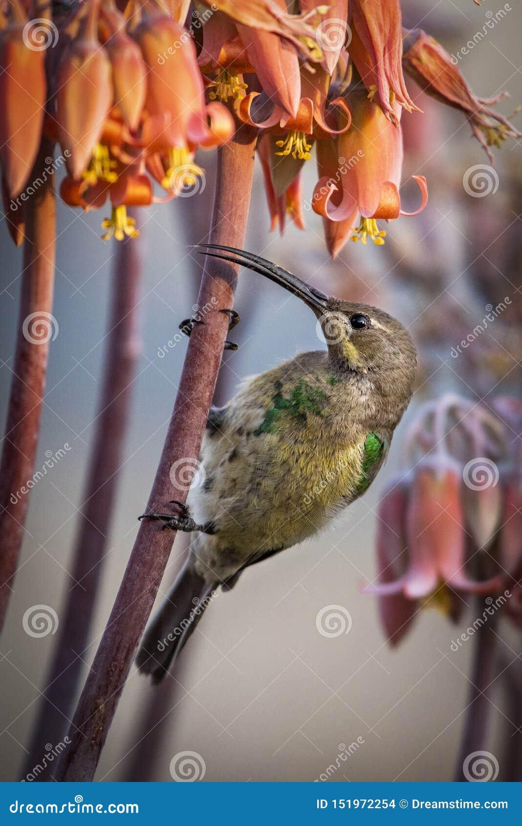 Famosa van malachietsunbirdnectarinia