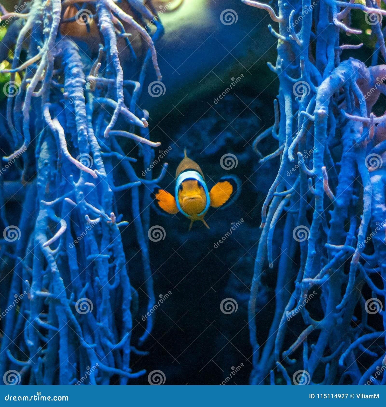 Famous Aquarium Fish The Ocellaris Clownfish Stock Image Image Of