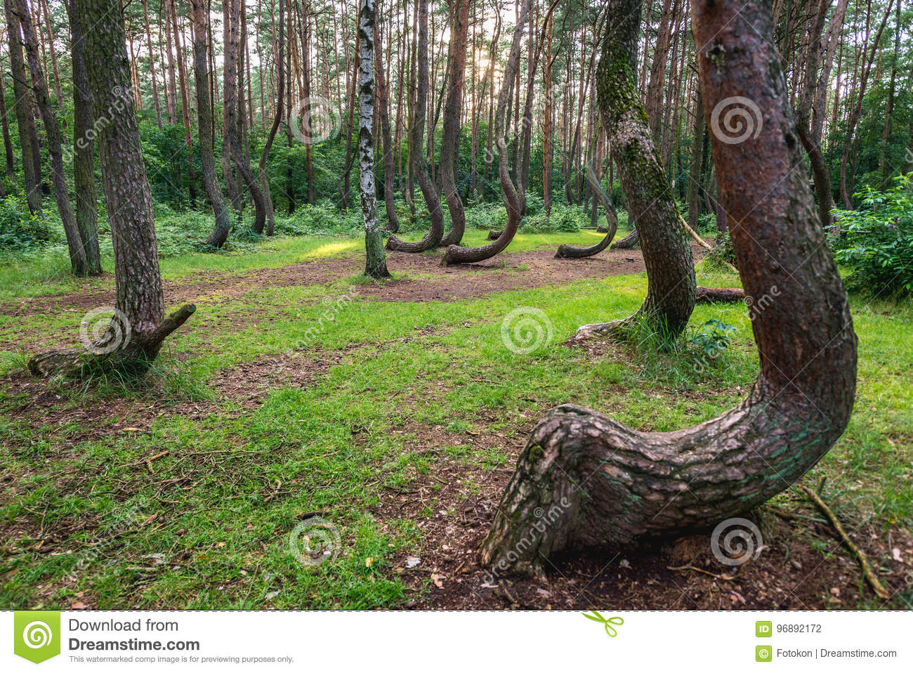 Famous Crooked Forest Stock Photo Image Of Nature Bended 96892172,Best Paint For Bathroom Ceiling To Prevent Mold Australia