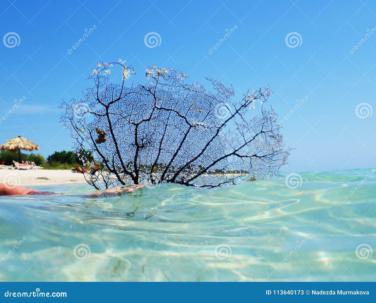 Fan de mer de corail noire sur la mer à la plage d Ancon, Trinidad, Cuba