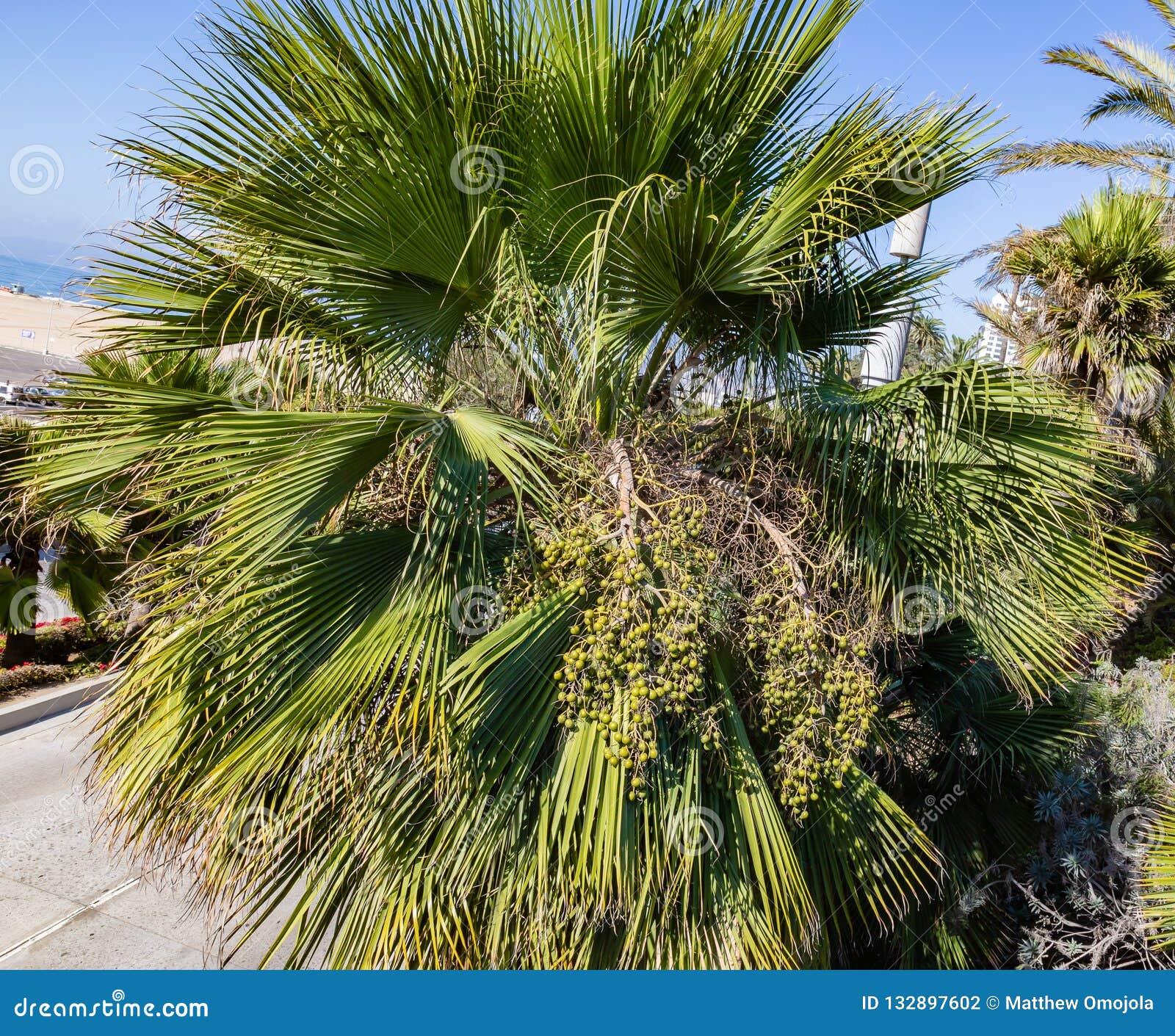 Fan Ornamentacyjna palma z owoc gromadzi się na ulicach Los Angeles