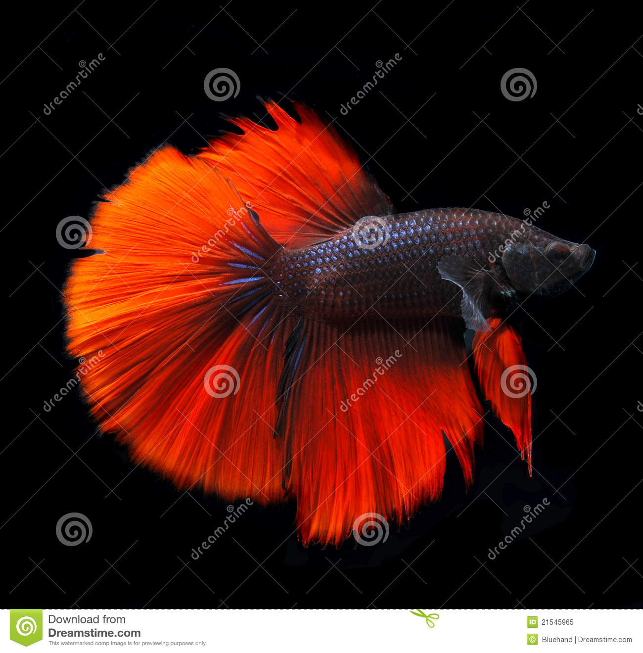 650 Betta Fish Names for All Different Types and Colors