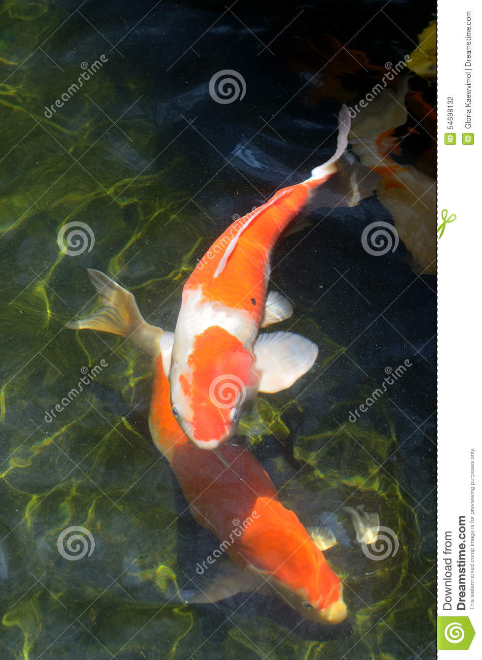 Fancy carp stock photo image 54698132 for Dream of fish swimming