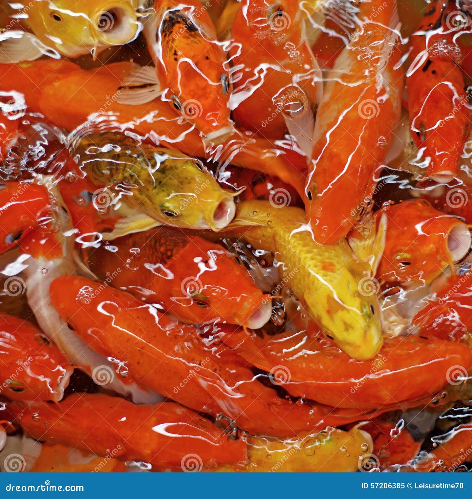 Fancy carp or koi fish stock image image of wild for Fancy koi fish