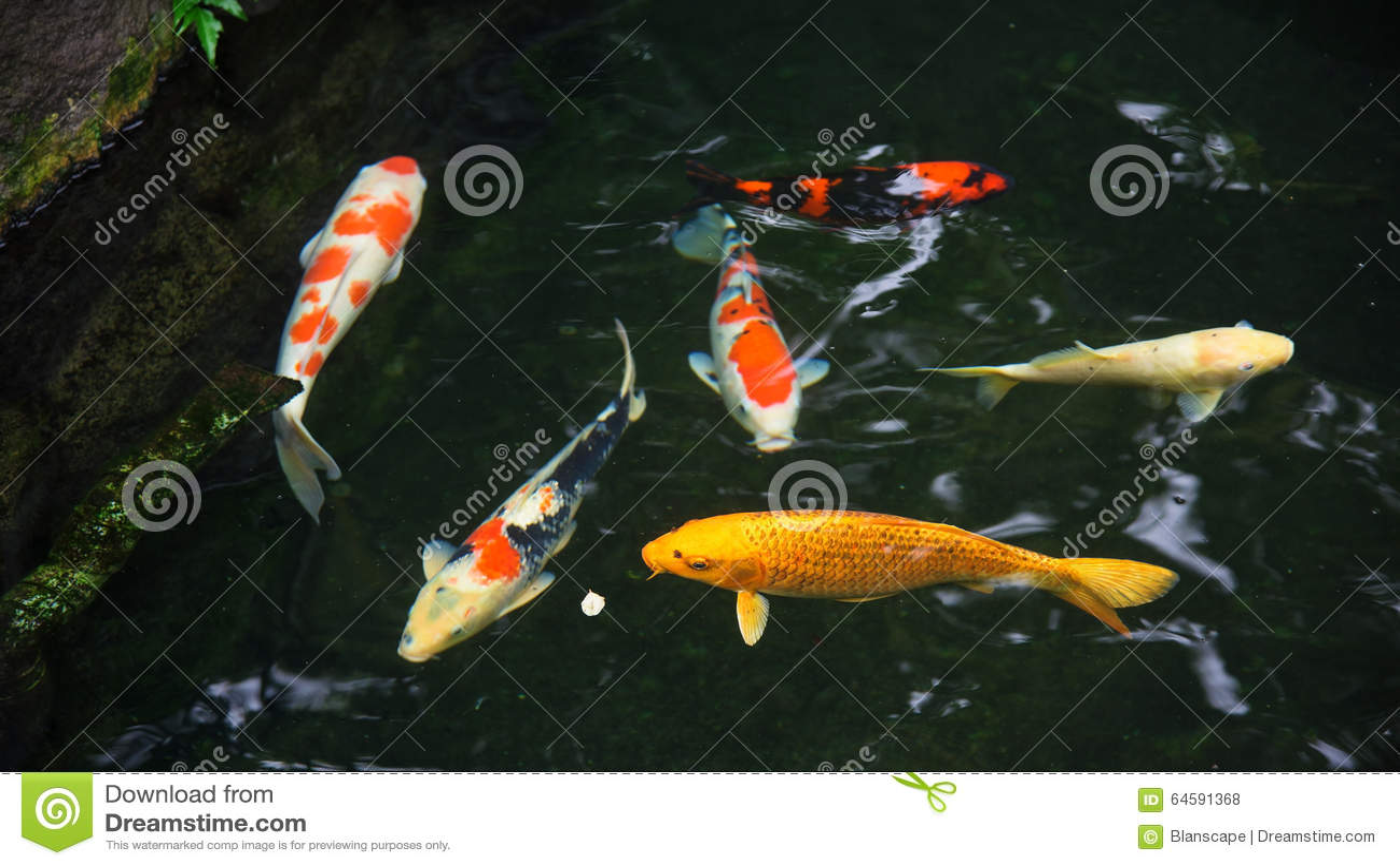 Feeding fancy carp fish stock photo for Koi fish dealers