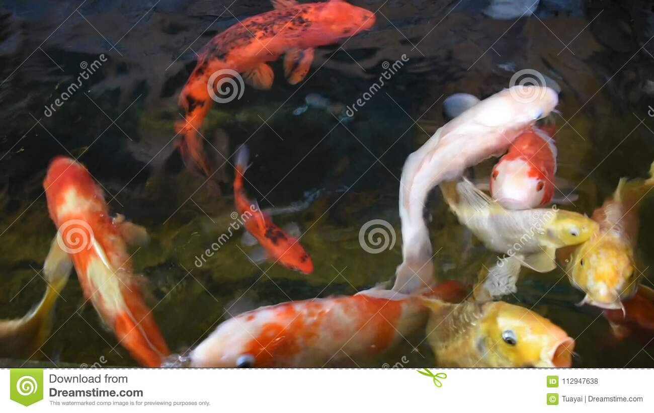 Fancy carp or Koi fish swimming at water pond in the garden  Environment,  aqua