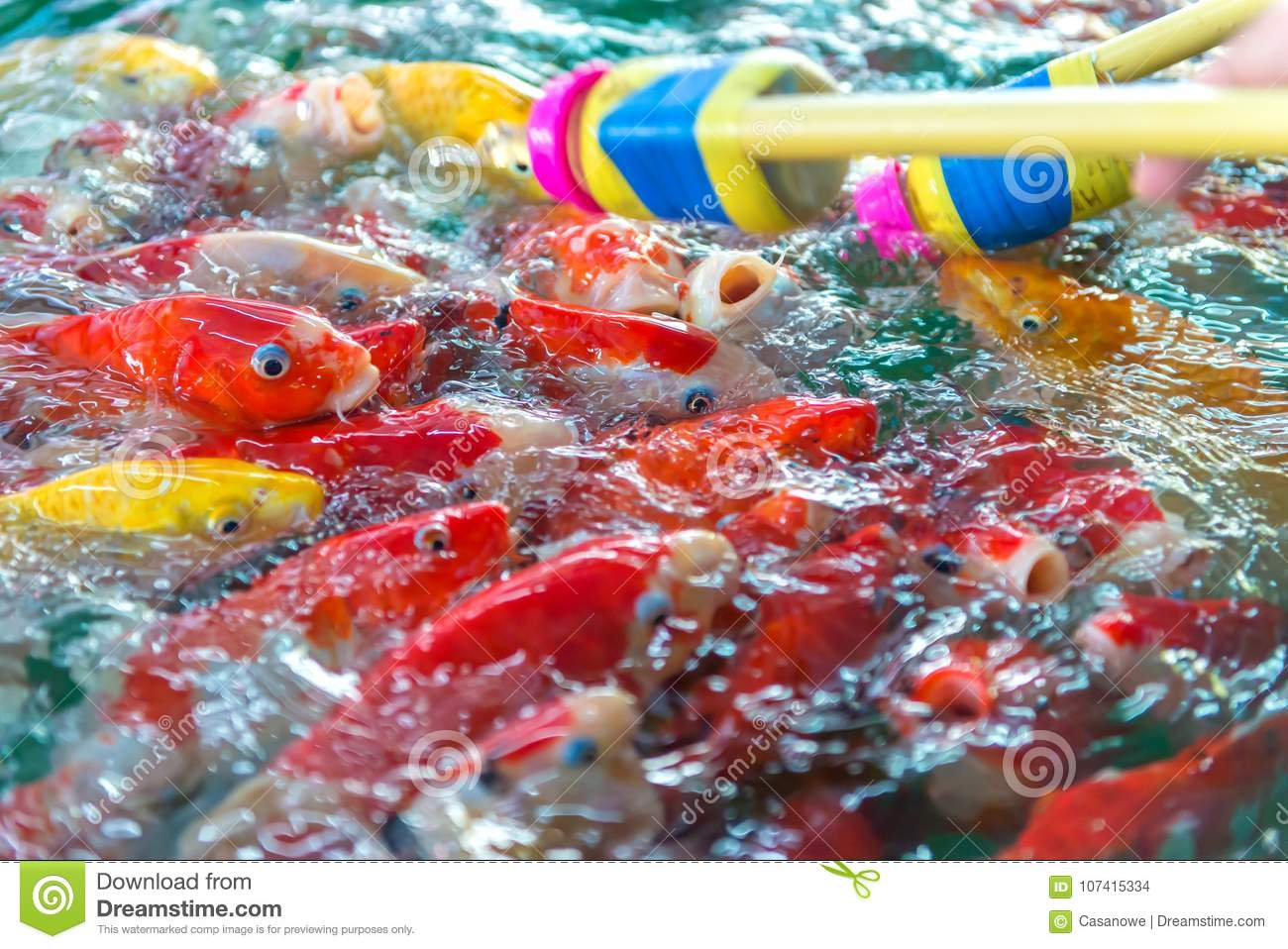 Fancy Carp. Many Of Japan Fish Or Colorful Koi Fish Feeding Stock ...