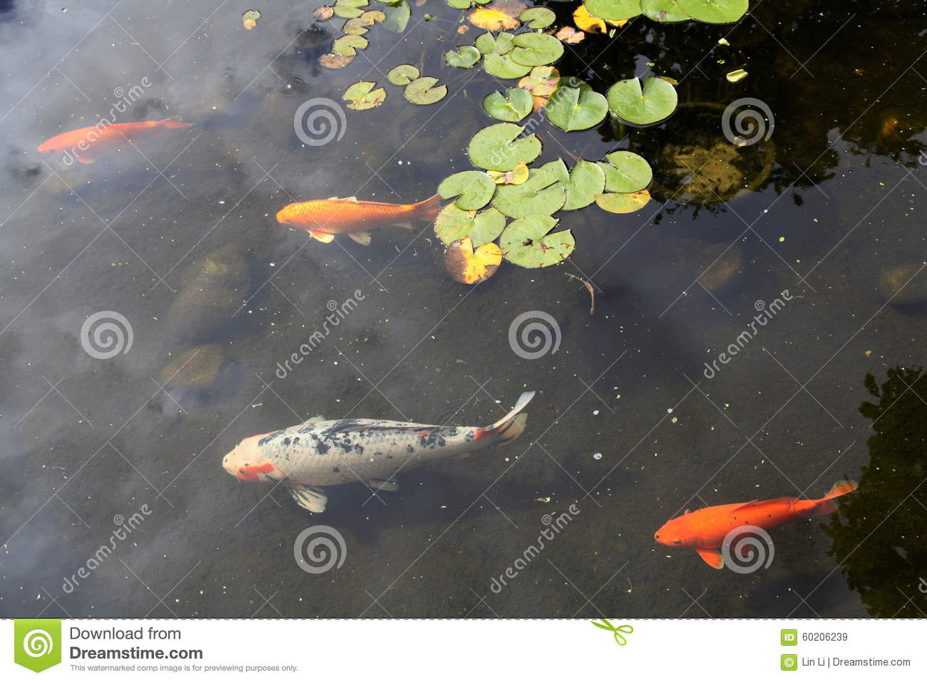 Fancy carps stock photo image 60206239 for Koi carp varieties