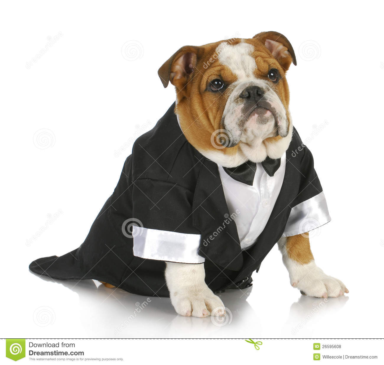 English bulldog wearing black tuxedo and tails on white background.