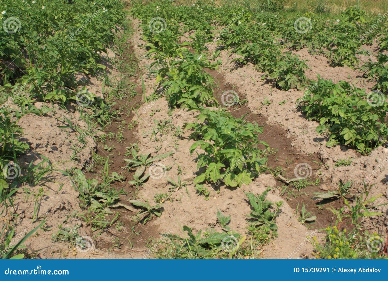 Fane image stock image 15739291 - Arrosage pomme de terre ...