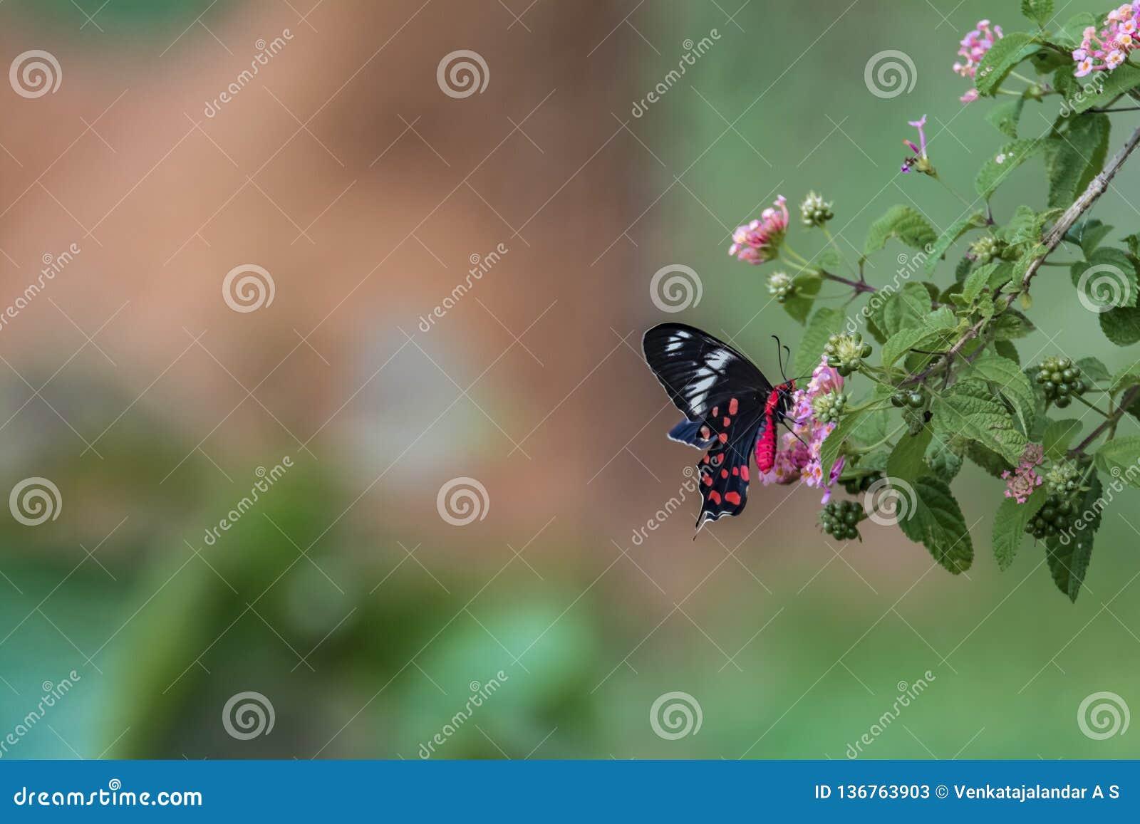 Fanfaron de Pachliopta, le papillon rose cramoisi