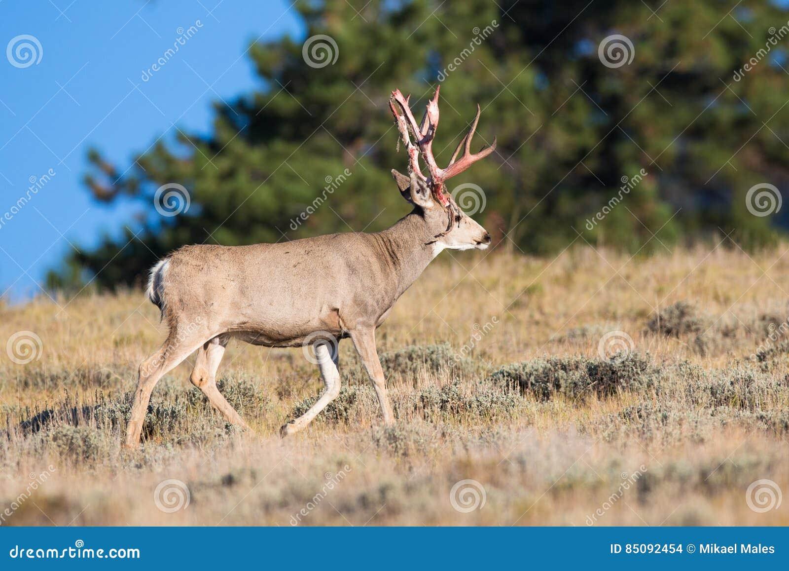 Fanfarrão grande dos cervos de mula que sai do veludo