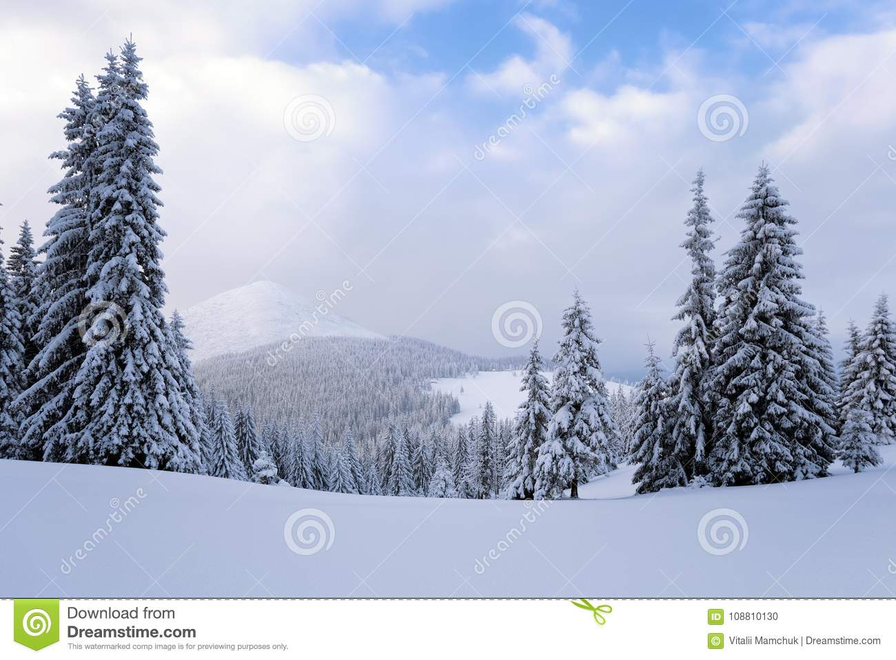 Fantastic fluffy Christmas trees in the snow. Postcard with tall trees, blue sky and snowdrift. Winter scenery in the sunny day.