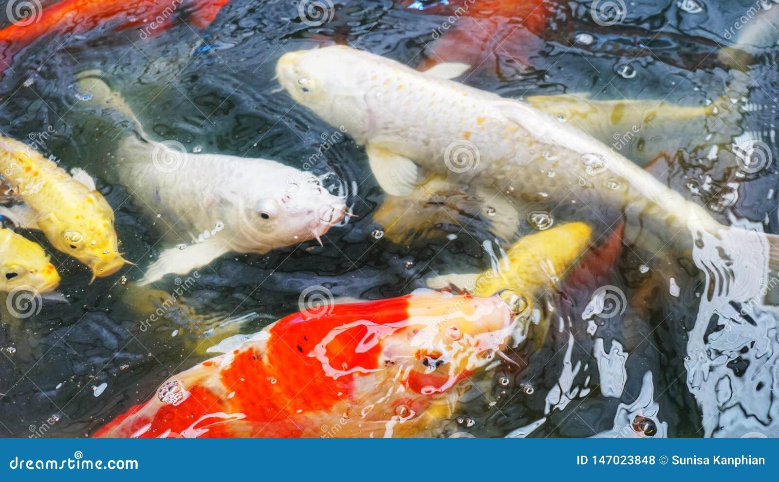 Fantastischer Mist Koi im Teich