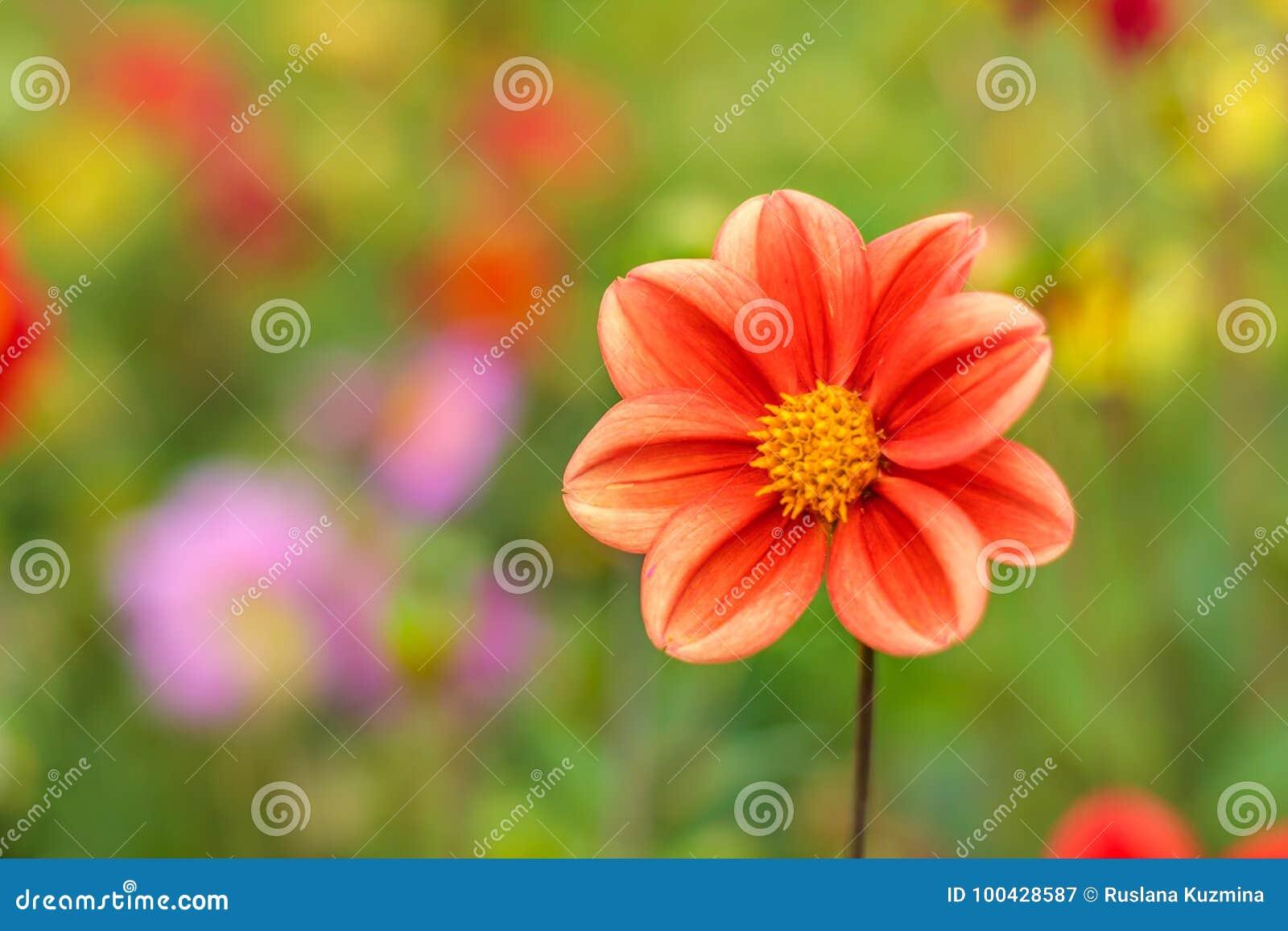 Fantastisk härlig bokehbakgrund med den ljusa röd eller rosa färg- eller koralldahlian blommar En färgrik blom- naturhälsning ell