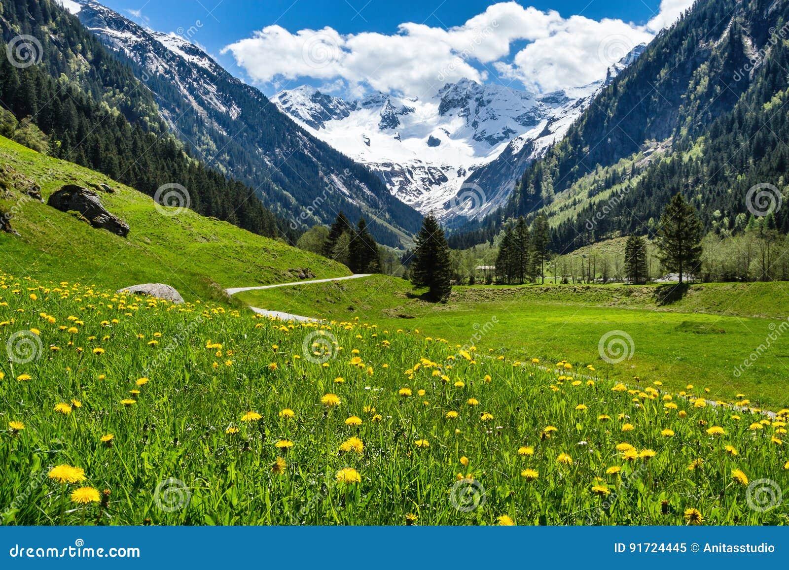 Fantastiskt alpint vårsommarlandskap med gröna ängblommor och snöig maximum i bakgrunden Österrike Tirol, Stillup dal