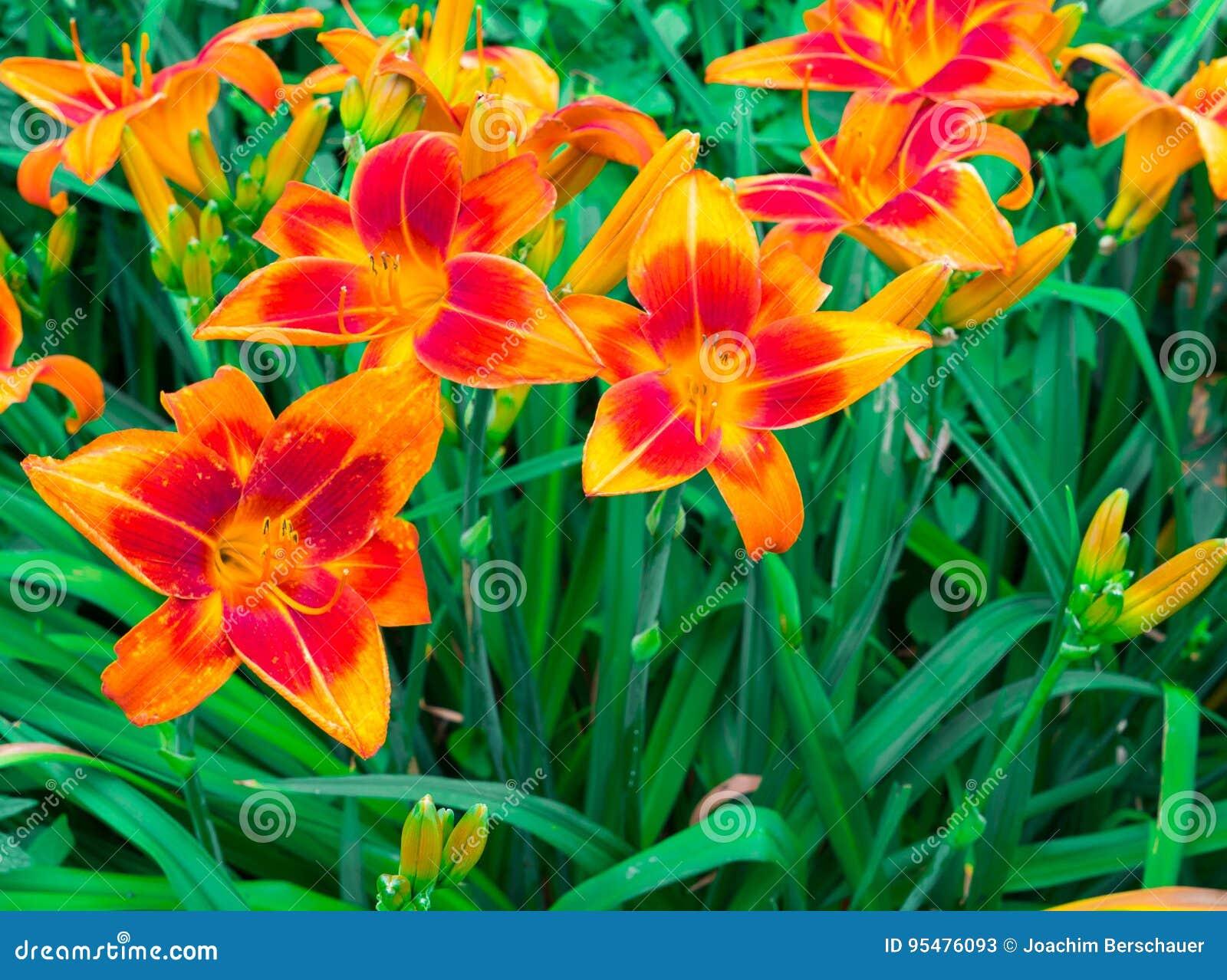 Fantastyczne pomarańczowe leluje w ogródzie