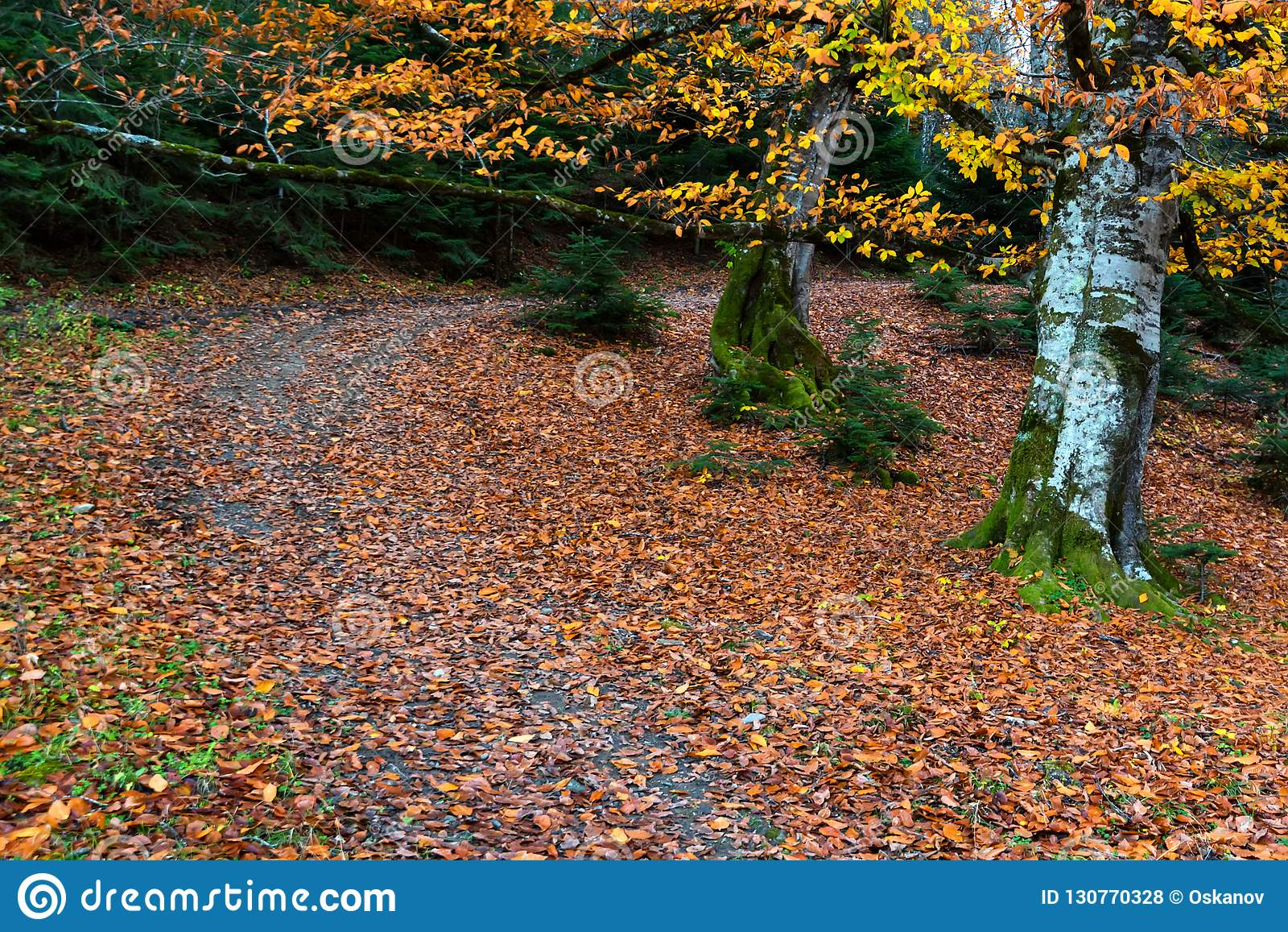 Big tree with yellow leaves in autumn forest