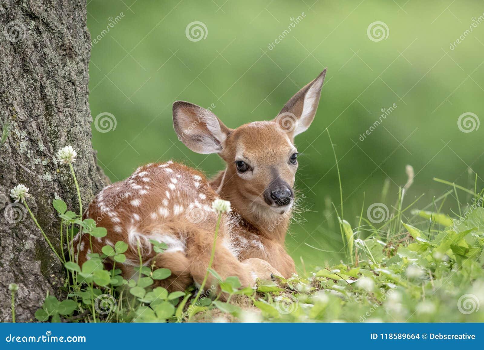 Faon Blanc-coupé la queue de cerfs communs dans Poughkeepsie, NY