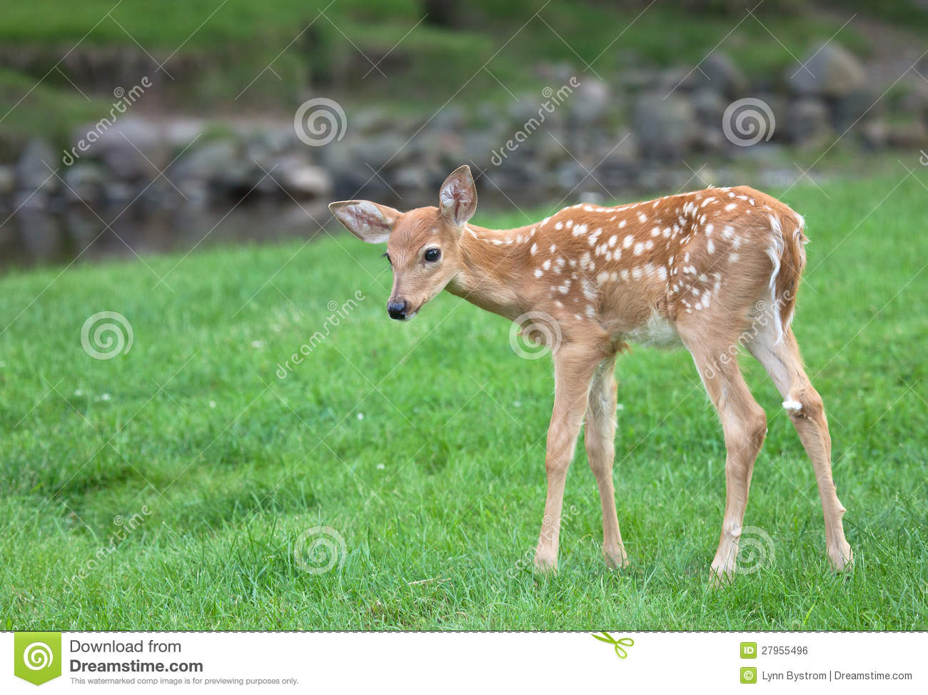 Faon de cerfs communs de Whitetail