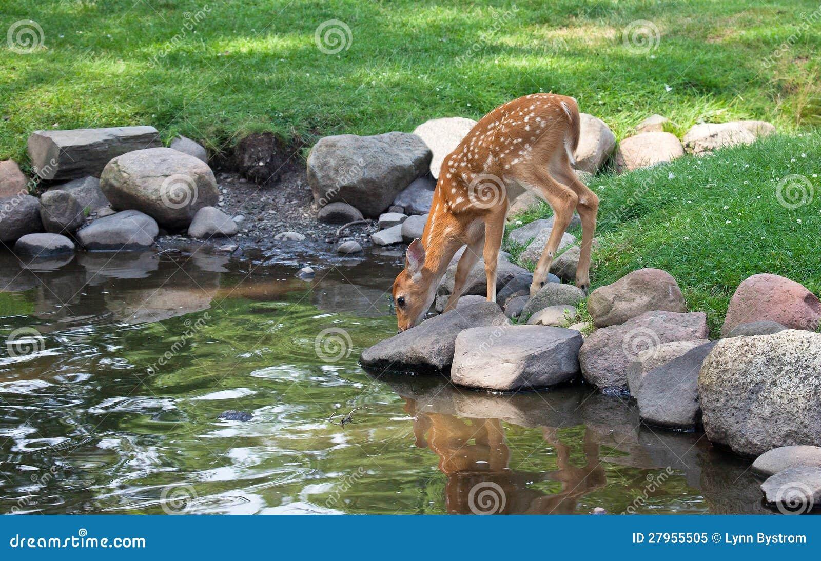 Faon de cerfs communs de Whitetail