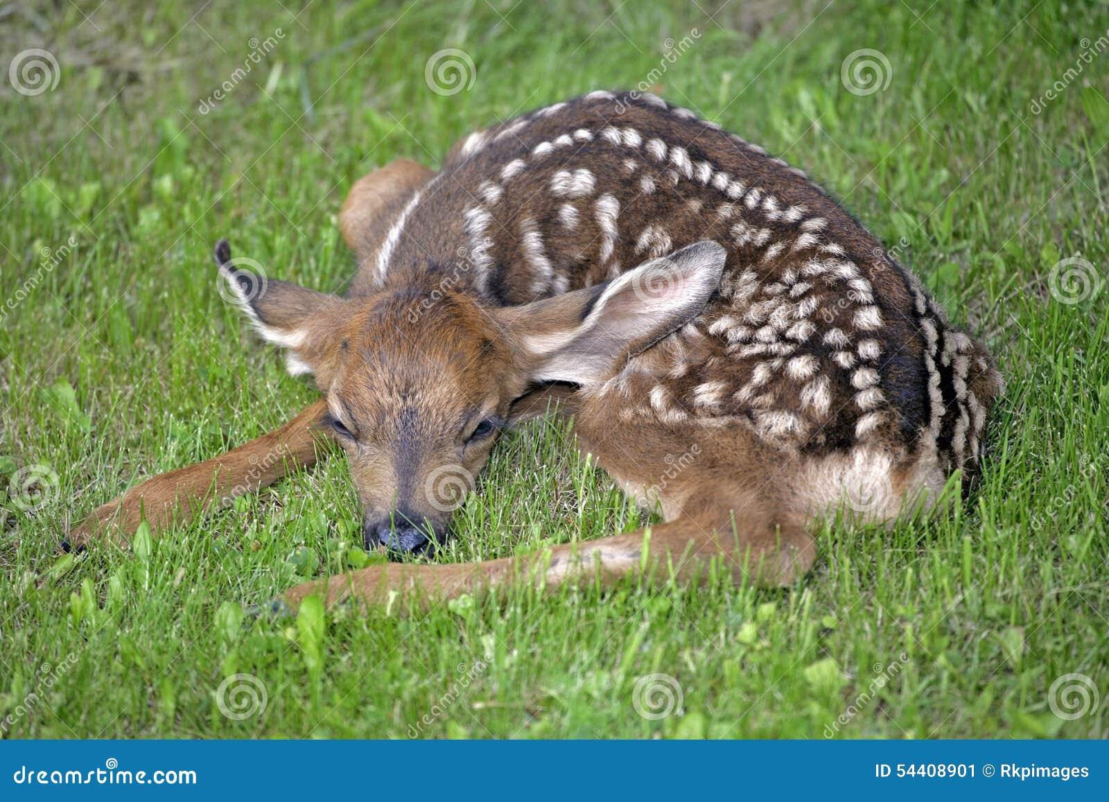 Faon nouveau-né de cerfs communs de mule