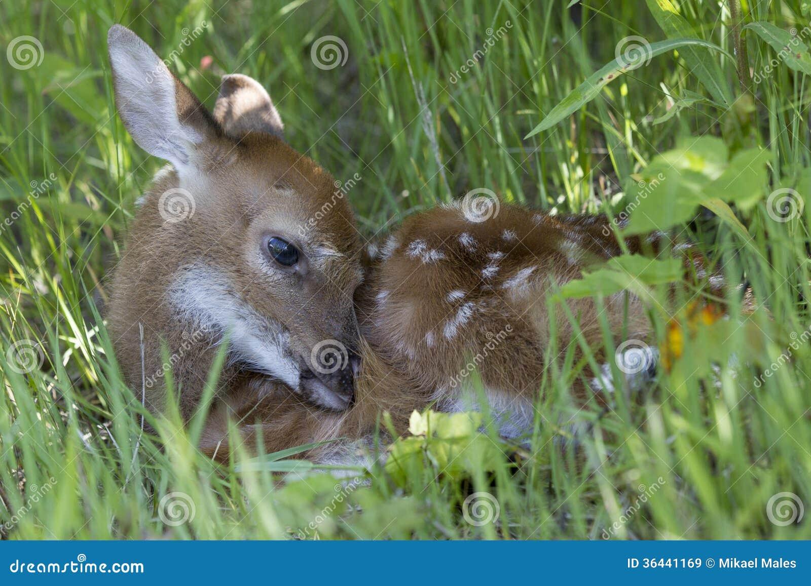 Faon se cachant dans l herbe