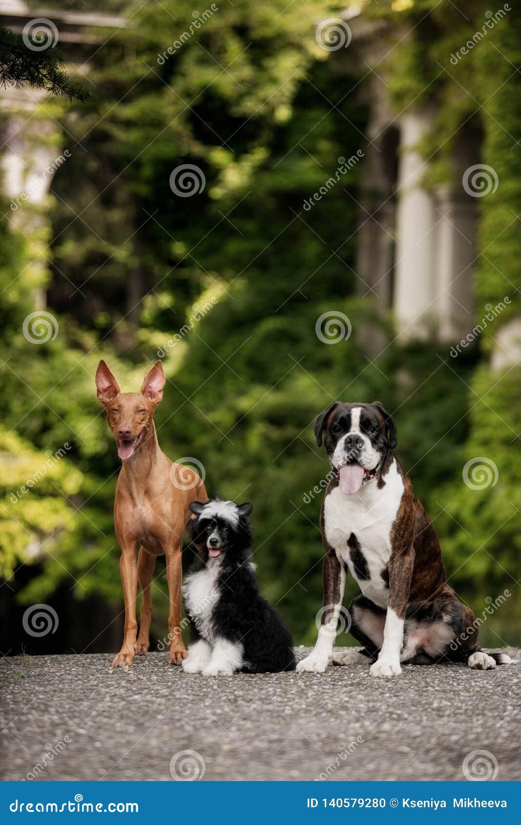 Faraohund, kinesiskt krönat, hundstag för boxare tre på trappa i natur på solsken