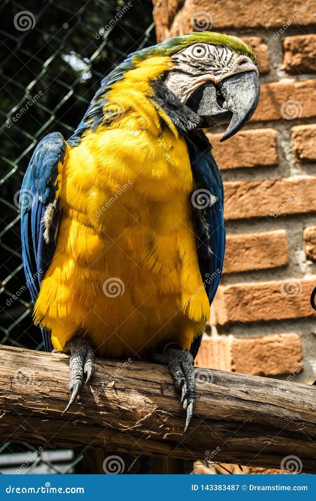 Farbige, blaue und gelbe Keilschwanzsittiche von Brasilien