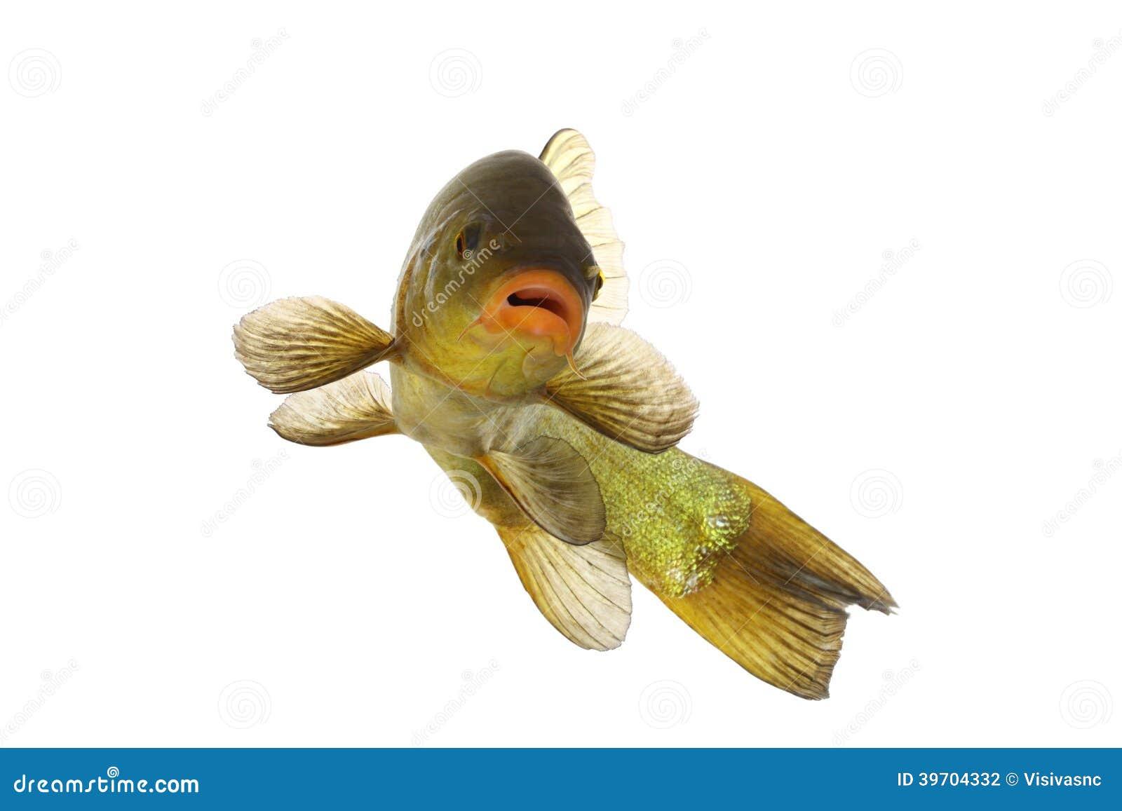 farbige fische die frei karpfen schleie schwimmen stockfoto bild 39704332. Black Bedroom Furniture Sets. Home Design Ideas