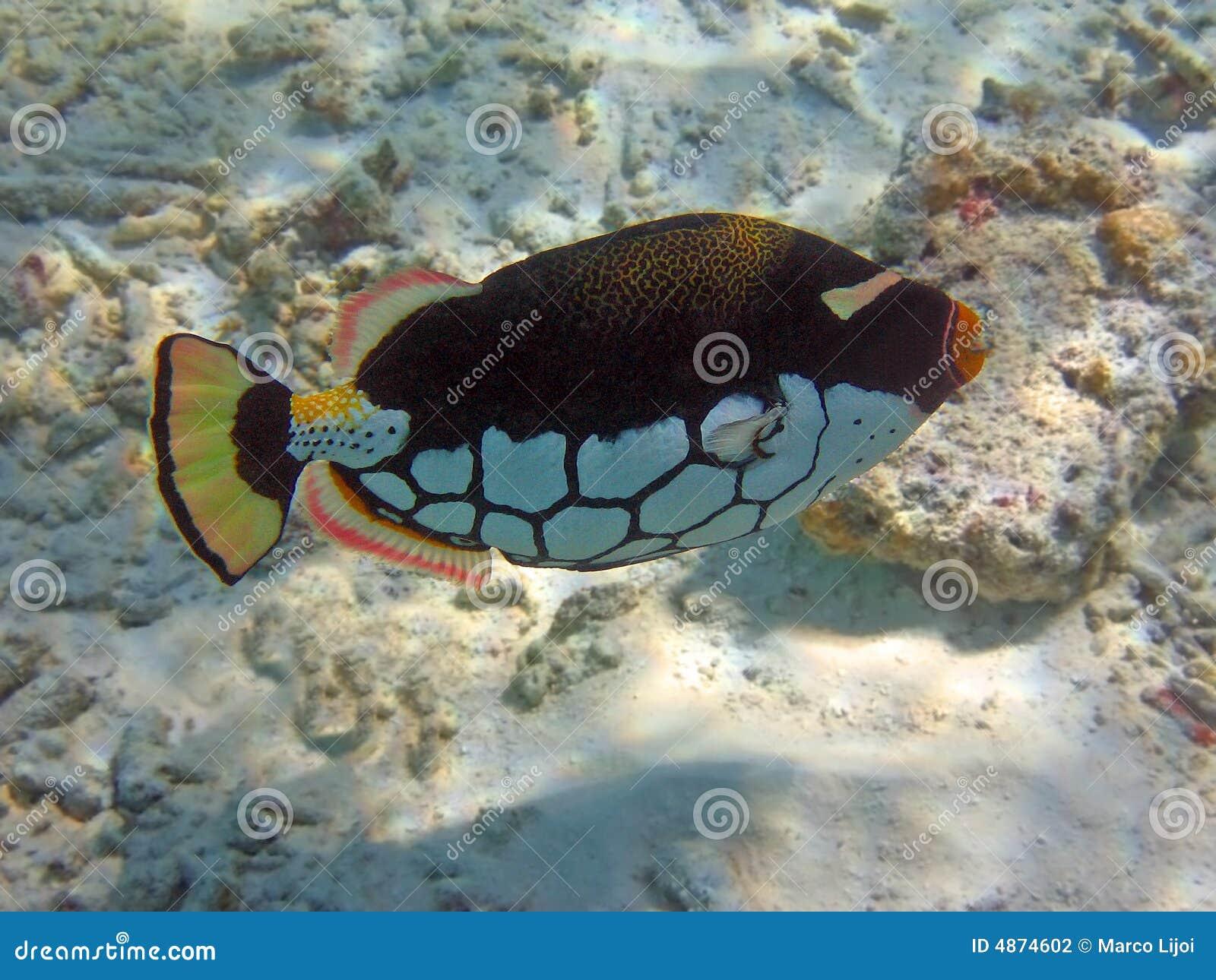 Farbiger Clown Triggerfish