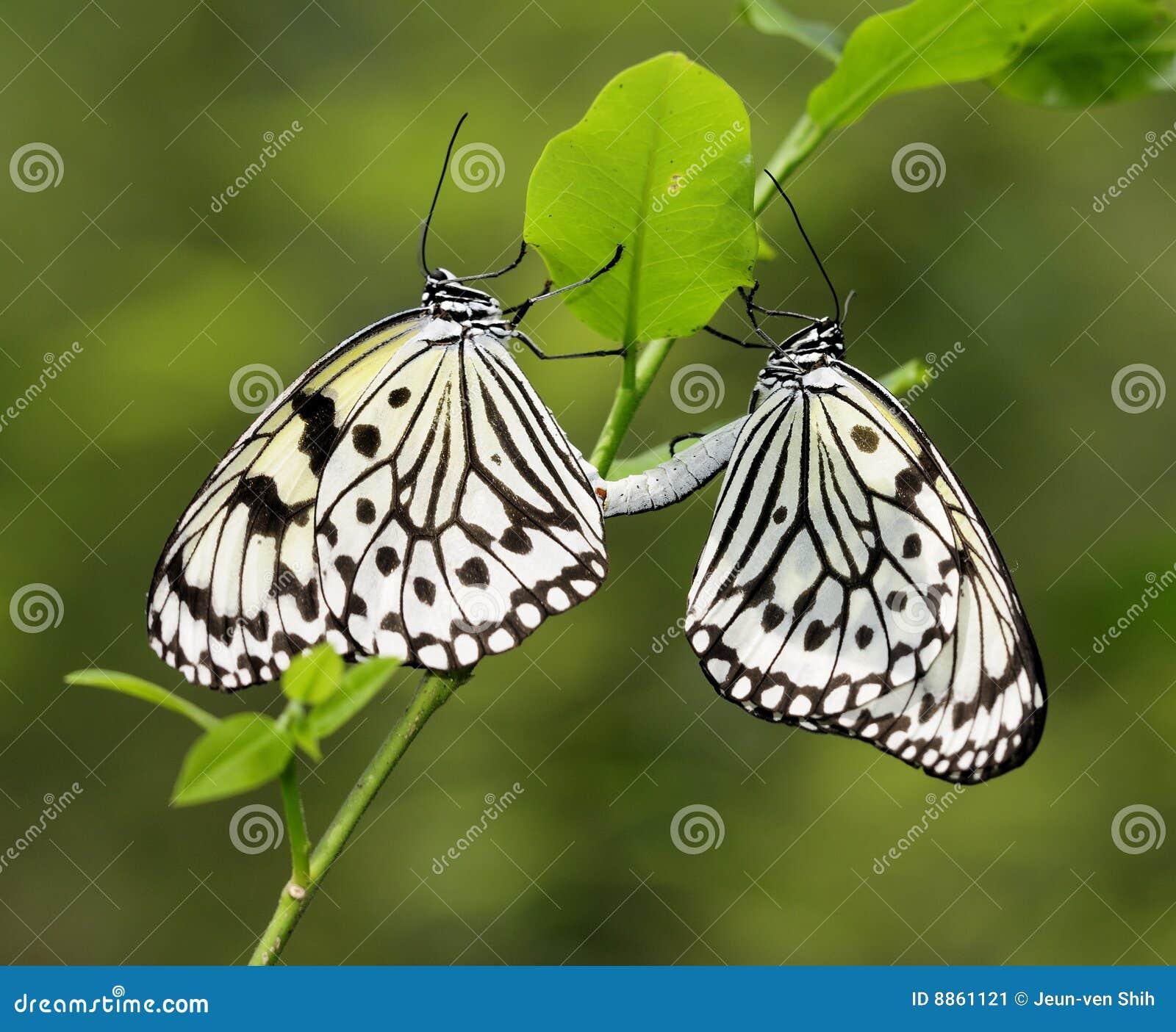 Farfalla - accoppiamento di carta del cervo volante