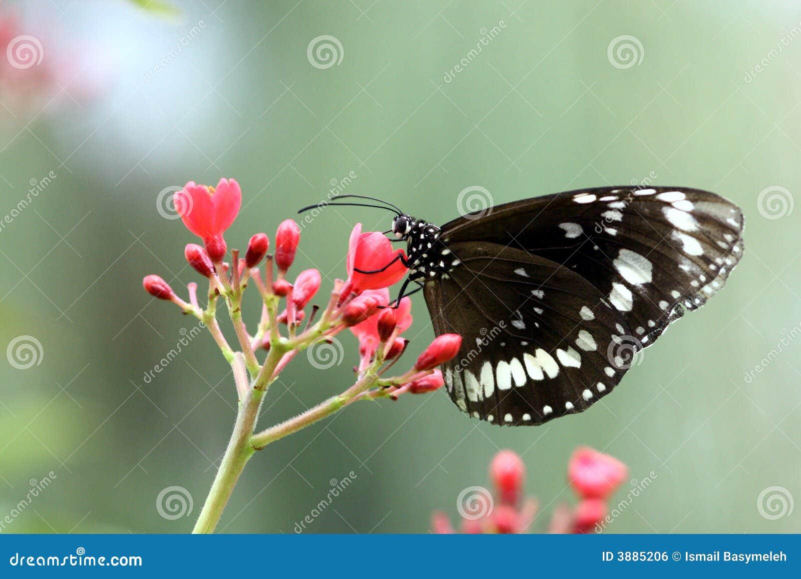 Farfalla bianca nera