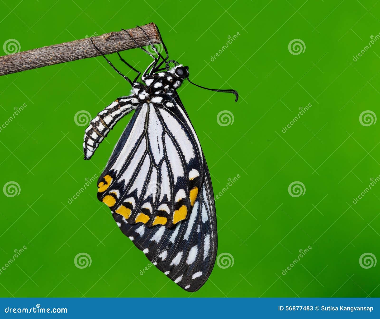 Farfalla comune del mimo che riposa dopo emergente