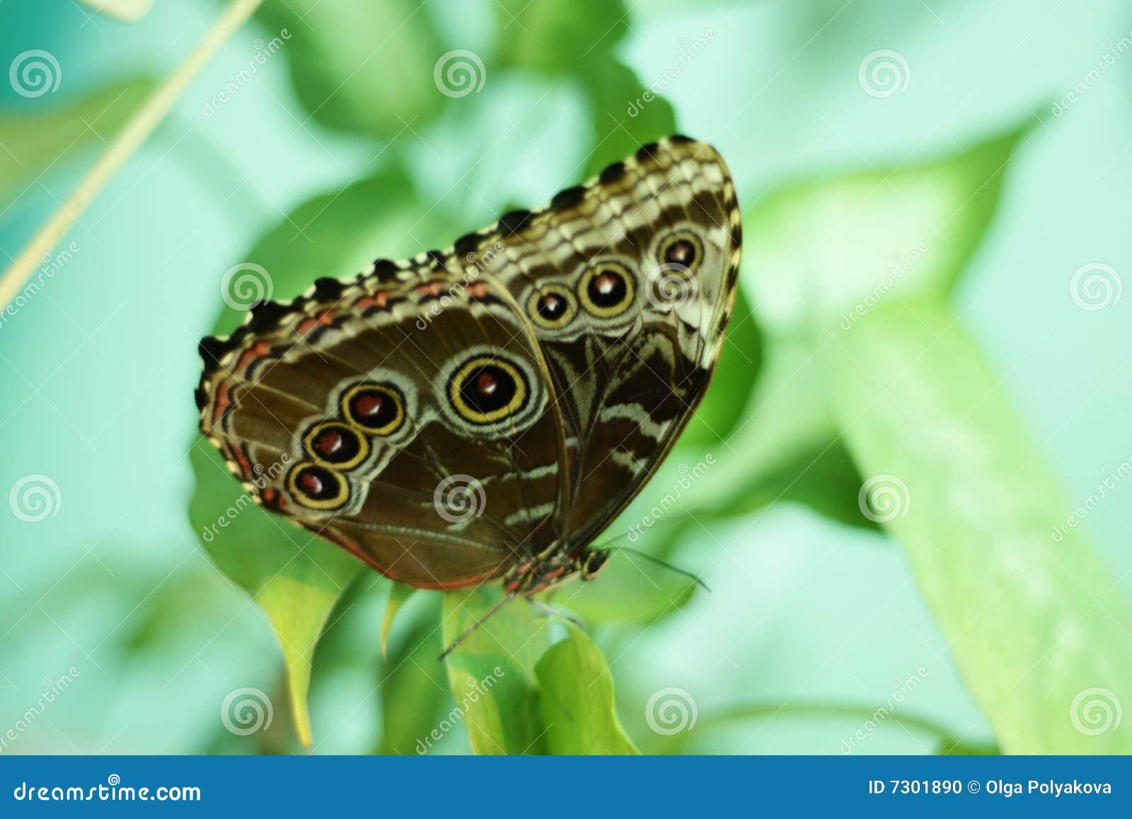 Farfalla del gufo, memnon di Caligo