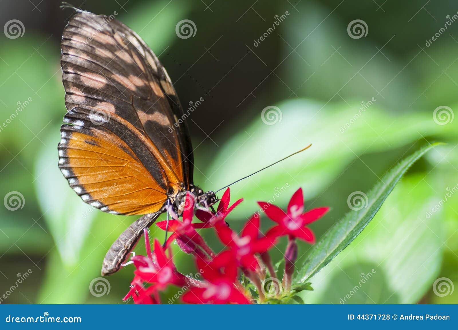 Farfalla del melpomene di Heliconius, mangiante ad un fiore