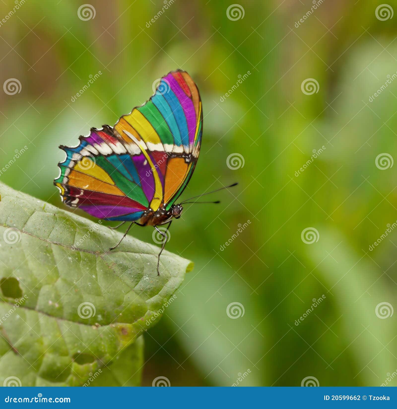 Farfalla del Rainbow