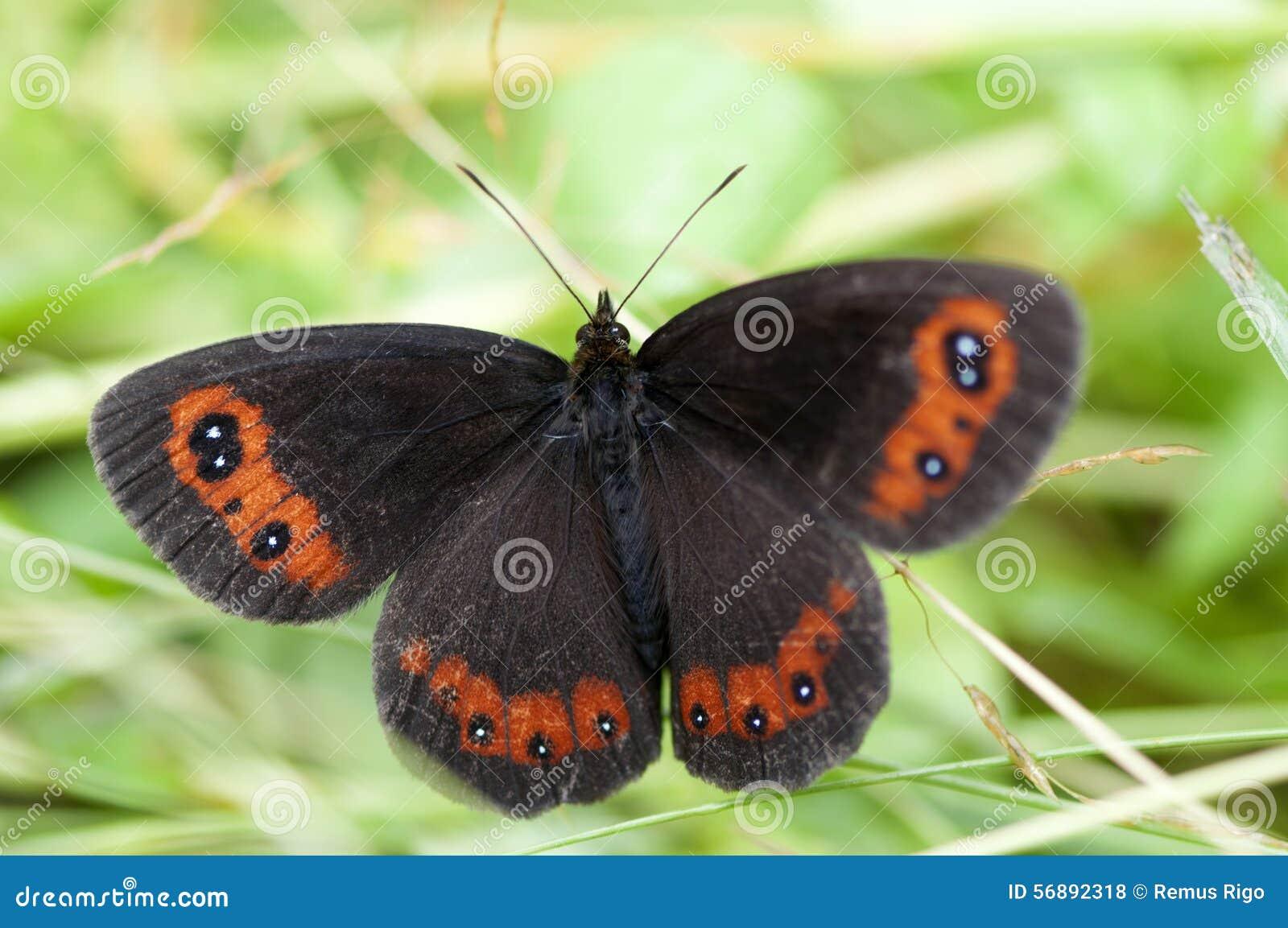 Farfalla del riccio del terreno boscoso
