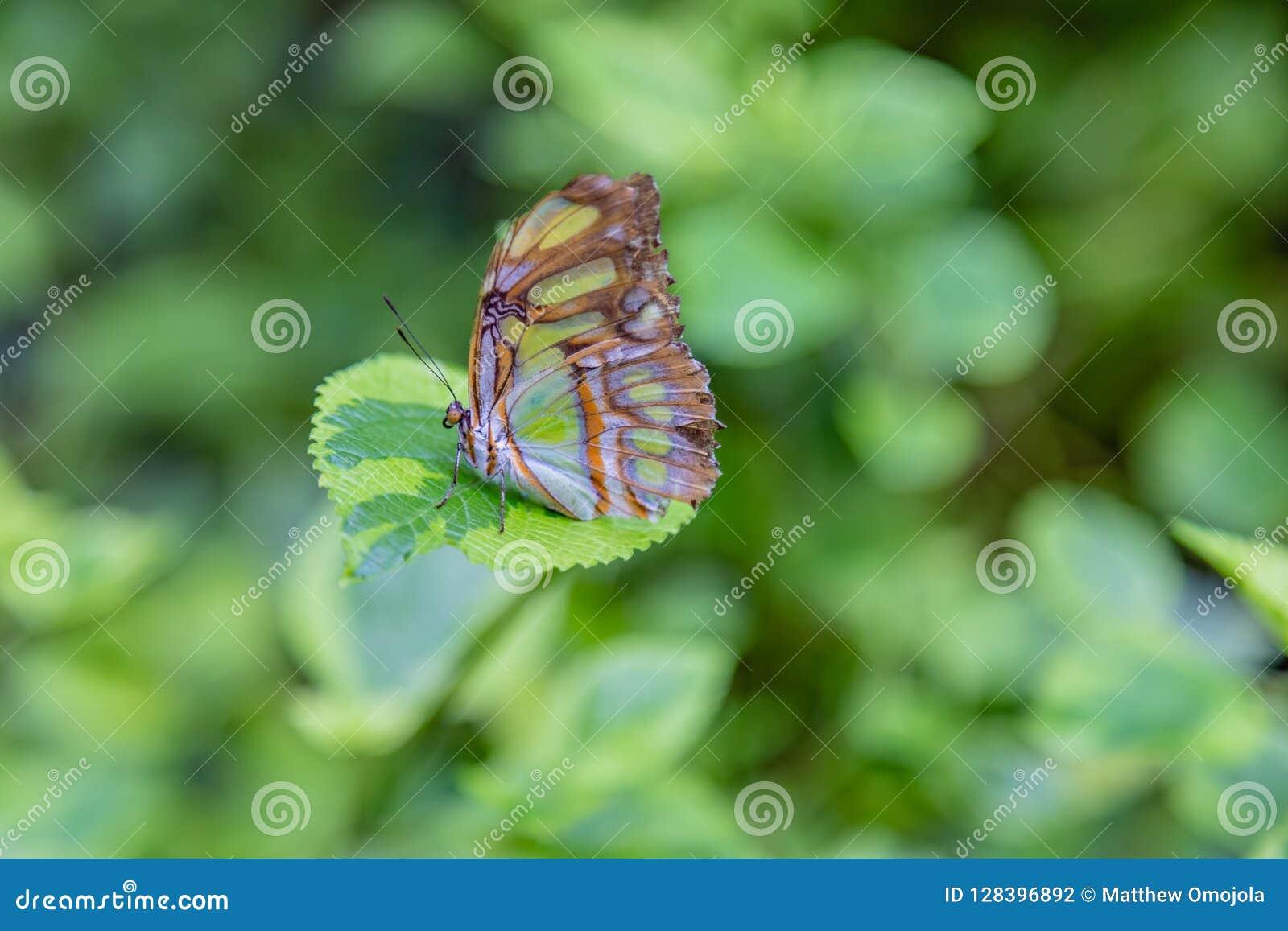 Farfalla della malachite con le ali chiuse