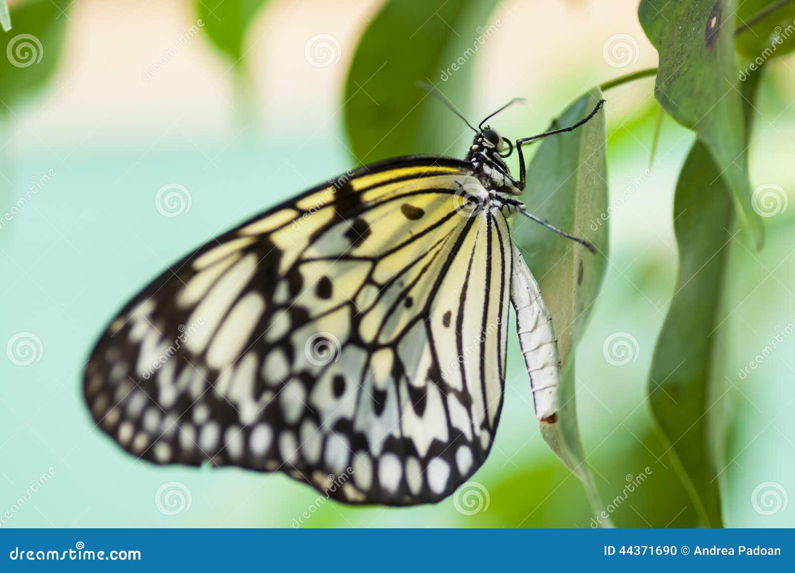 Farfalla delle speci di Papilio