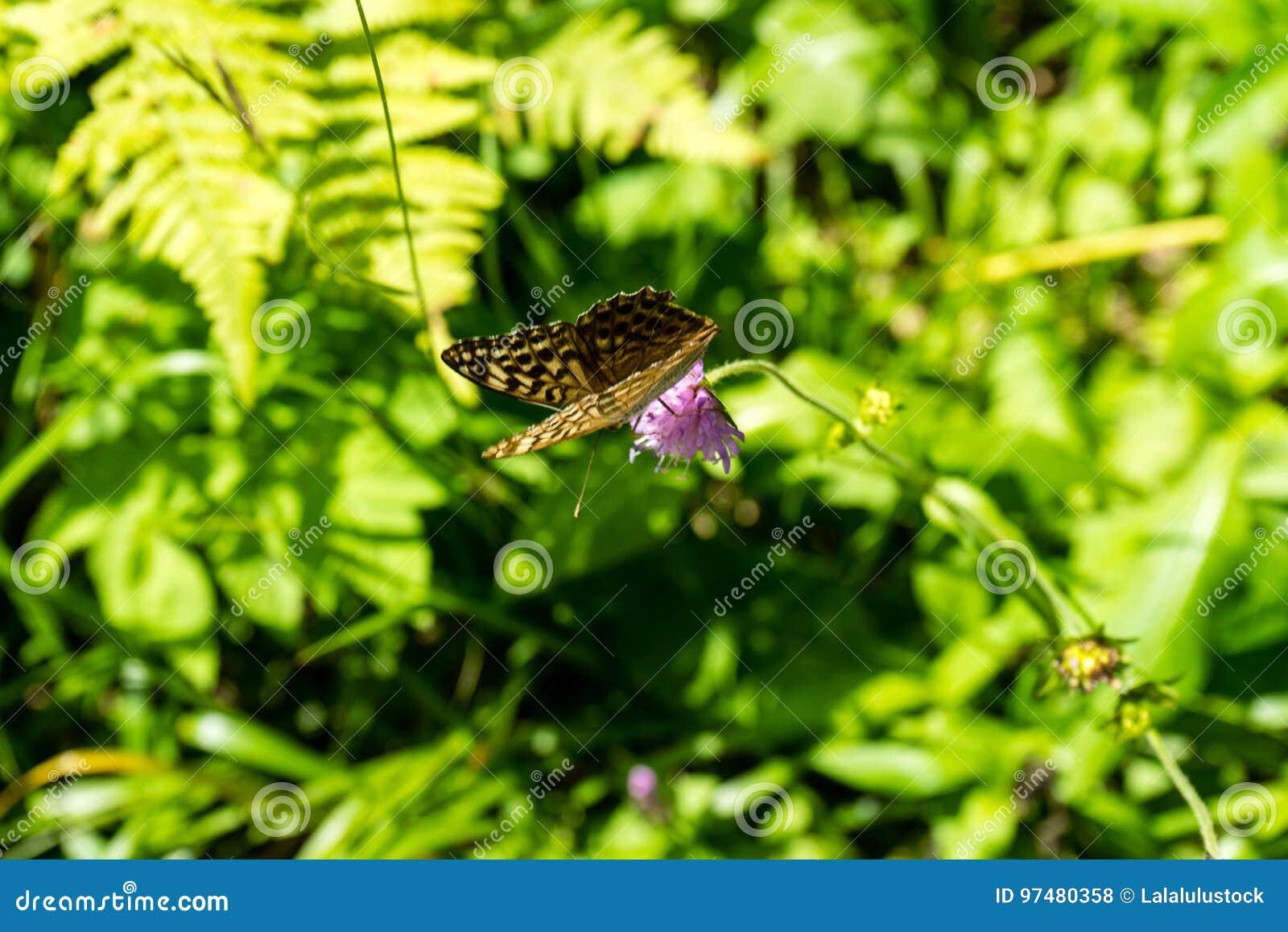 Farfalla di Brown sul fiore porpora