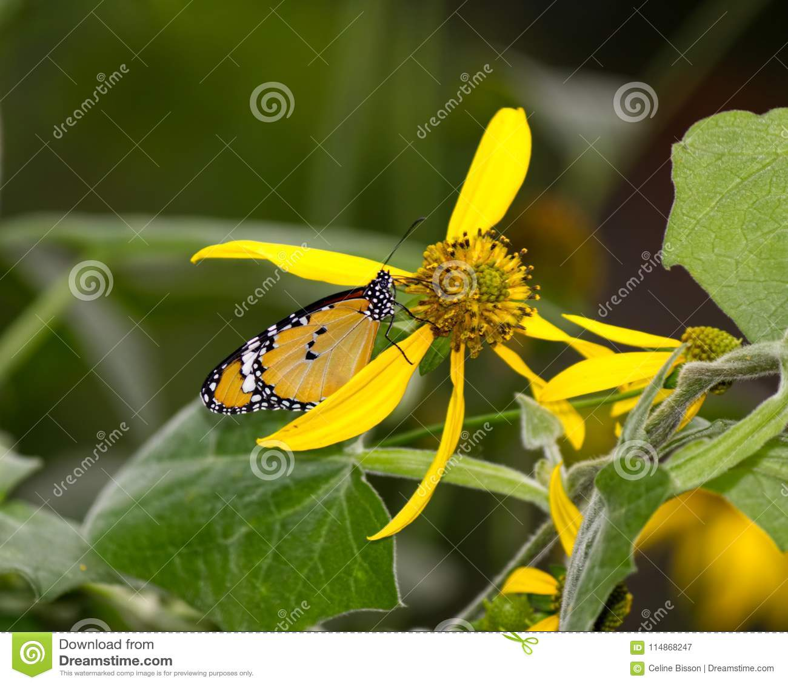 Farfalla di monarca africana sul fiore giallo